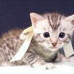 シルバーベンガル子猫
