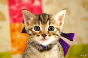 ベンガル子猫137番パープルちゃん