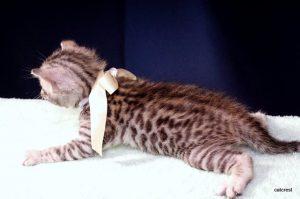ベンガルの子猫2016年5月30日生まれ 235番ホワイトちゃん