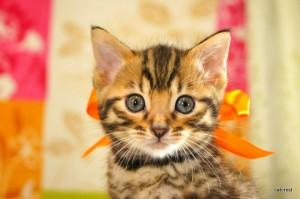 ベンガル子猫136番オレンジくん