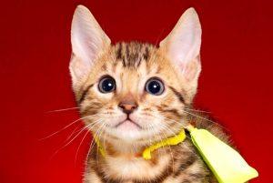 ベンガルの子猫2018/9/5生まれ562番きいろ君オス5