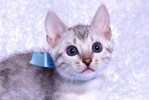 ベンガルの子猫2018/9/5生まれ560番みずいろ君オス1