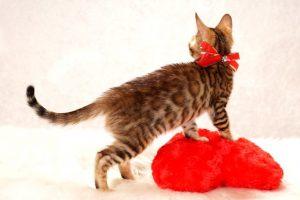 ベンガルの子猫 2016年11月3日生まれ 276番あかちゃん
