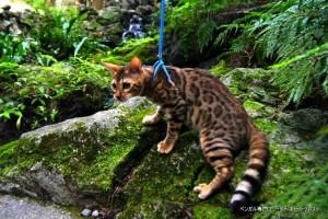 ベンガル猫チャコ2
