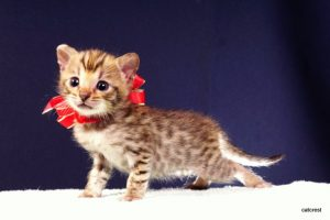 ベンガルの子猫240番レッドちゃん