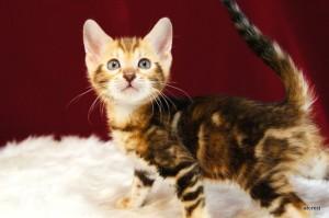 ベンガルの子猫144番マーブル君
