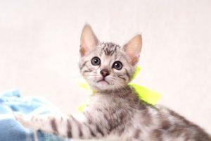 ベンガルの子猫2016年11月25日生まれ 309番イエロー君