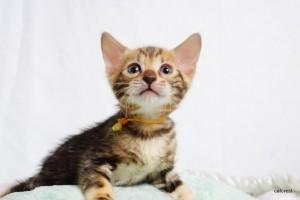 ベンガルの子猫181番オレンジ君