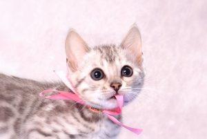 ベンガルの子猫 2016年9月25日生まれ 311番ピンクちゃん