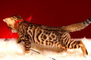 ベンガルの子猫販売中のベンガル子猫 2018/9/15生まれ 563番レッド3