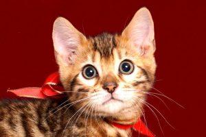 ベンガルの子猫販売中のベンガル子猫 2018/9/15生まれ 563番レッド6