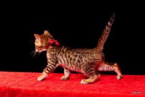 ベンガルの子猫6月5日生まれ243番あか君