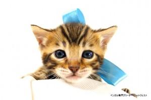 2013年6月10日生まれベンガル子猫62番アクア君