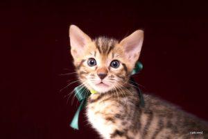 ベンガルの子猫241番みどり君