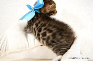 2013年6月10日生まれベンガル子猫62番アクア君2