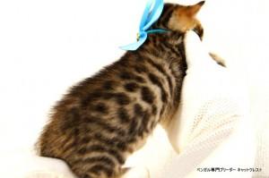 2013年6月10日生まれベンガル子猫62番アクア君3