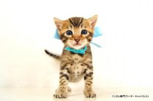 2013年6月10日生まれベンガル子猫62番アクア君4