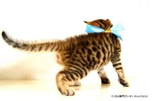 2013年6月10日生まれベンガル子猫62番アクア君5