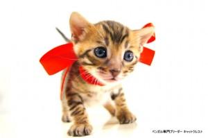 2013年6月10日生まれベンガル子猫63番レッドちゃん4