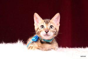 ベンガルの子猫 2016年5月17日生まれ 252番ミズイロ君