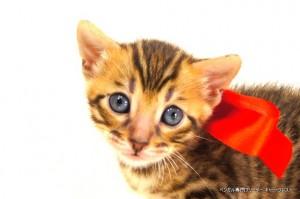 2013年6月10日生まれベンガル子猫63番レッドちゃん