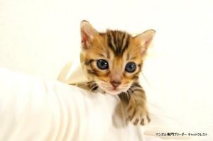 2013年6月10日生まれベンガル子猫64番ホワイトちゃん4