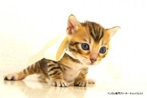 2013年6月10日生まれベンガル子猫64番ホワイトちゃん5