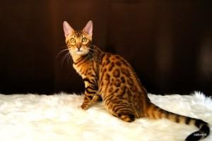 ベンガルの子猫147番ピンクちゃん