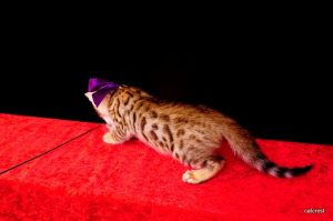 ベンガルの子猫2016年5月17日生まれ 253番ムラサキちゃん