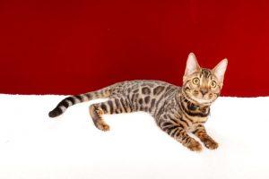 ベンガルの子猫365番ブルー君