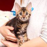 ベンガルの子猫 2017年1月5日生まれ 305番あお君