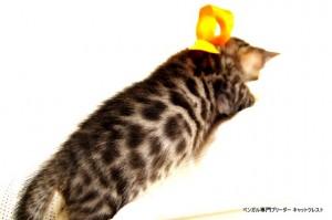 2013年6月10日生まれベンガル子猫65番オレンジちゃん4