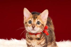 ベンガルの子猫 2017年1月5日生まれ 306番あかちゃん