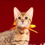 ベンガルの子猫 2017年1月5日生まれ 304番おれんじちゃん
