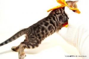 2013年6月10日生まれベンガル子猫65番オレンジちゃん2