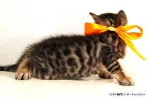 2013年6月10日生まれベンガル子猫65番オレンジちゃん5