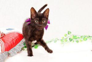 ベンガルの子猫 2017年9月16日生まれ 411番パープル君 オス