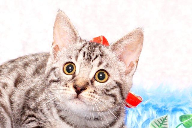ベンガルの子猫2017年9月14日生まれ 408番レッドちゃん