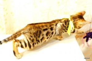 ベンガルの子猫cs5きいろ君