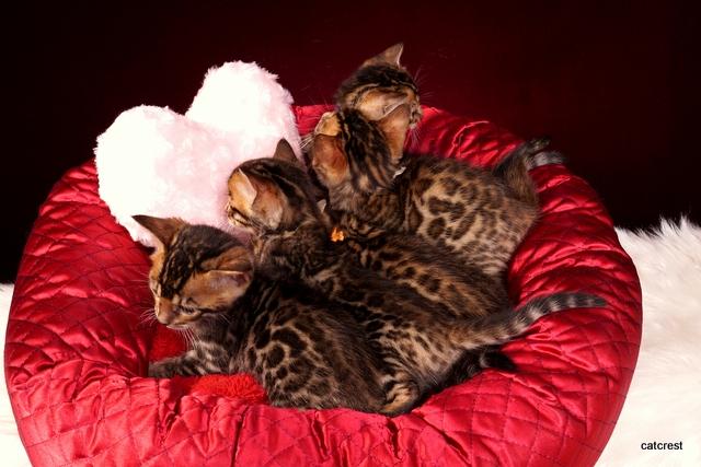 ベンガルの子猫達 ロゼット模様