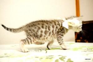ベンガル子猫101番シロ君