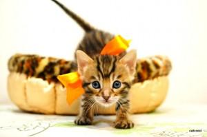 ベンガル子猫102番オレンジ君