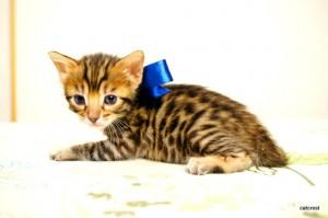 ベンガル子猫103番アオ君