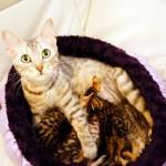 シルバーベンガル ママ猫