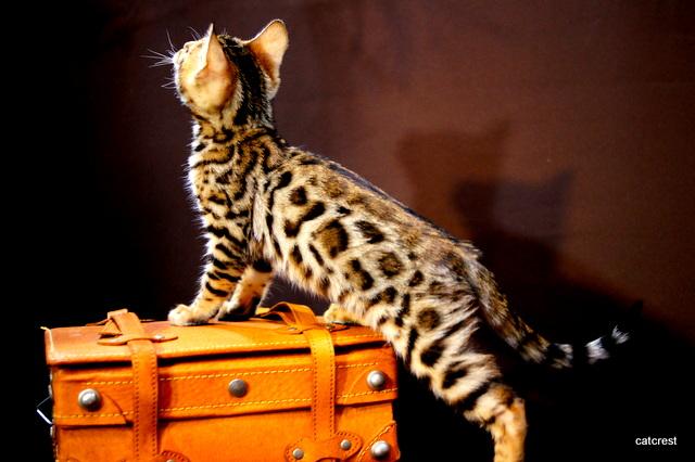 ベンガル猫の撮影について