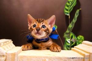 ベンガル子猫66番あお1