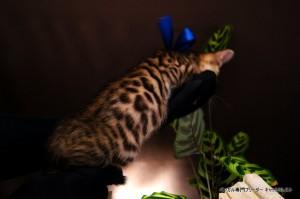 ベンガル子猫66番あお4