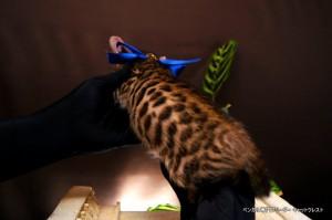 ベンガル子猫66番あお5