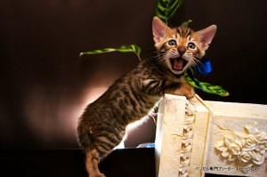ベンガル子猫66番あお7