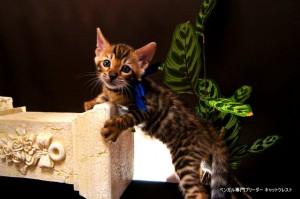 ベンガル子猫66番あお8